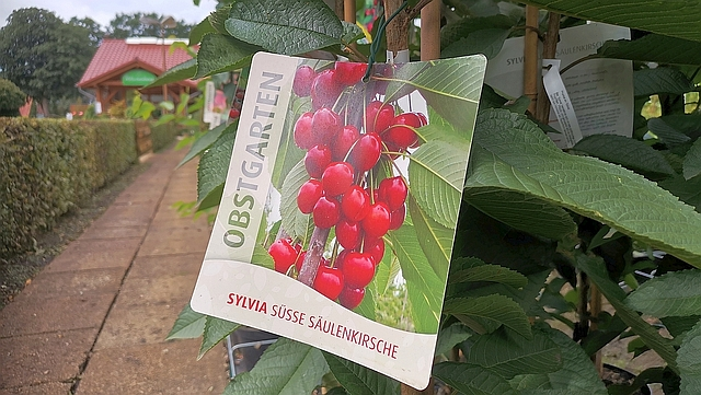 Säulenobst wie Kirsche Sylvia von Obstgarten erhältlich bei Warnken Gartencenter Oldenburg LK | Planzencenter Warnken | https://www.warnken-pflanzen.de/obst-beeren-2/